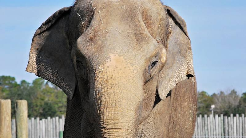 Shirley, a female Asian elephant at Wild Adventures, died at 78.