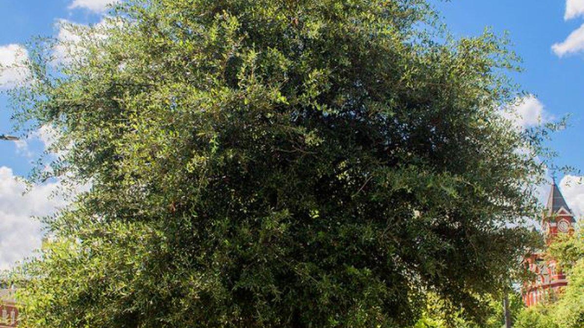 Auburn oaks