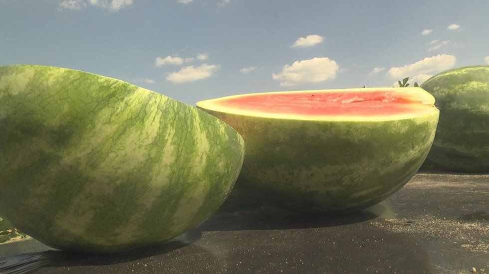 More than 20 types of melons are in the study (Source:WALB)