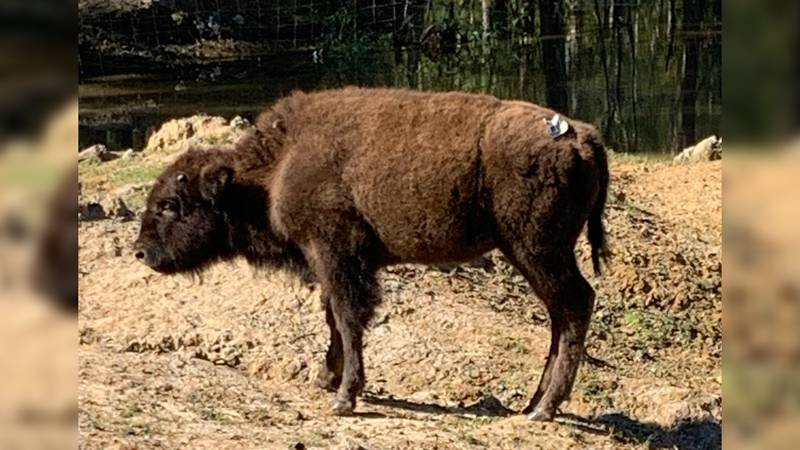 Bison on the loose in Brunswick County's Ash community captured and returned to owner