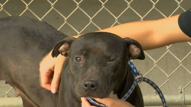 The Albany Humane society has several pit bull mixes waiting to be adopted out.