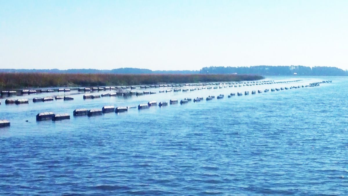 Oyster farming is a growing industry in the state, but one state lawmaker has concerns it is...
