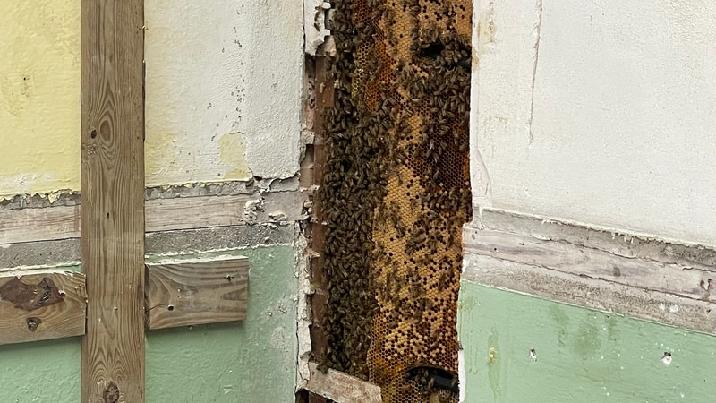 Buzz Fuzz helps safely remove bees from the walls inside the historic courthouse.