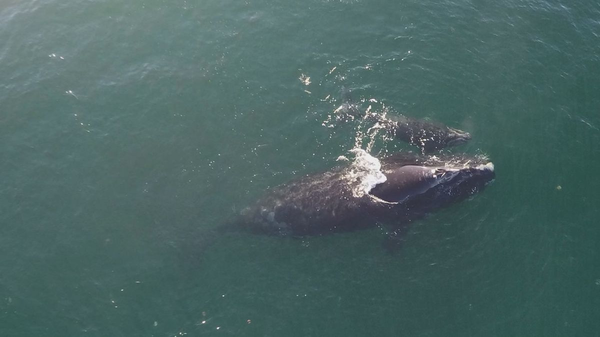 It's an exciting time in our coastal waters - four right whale calves have been spotted and the...