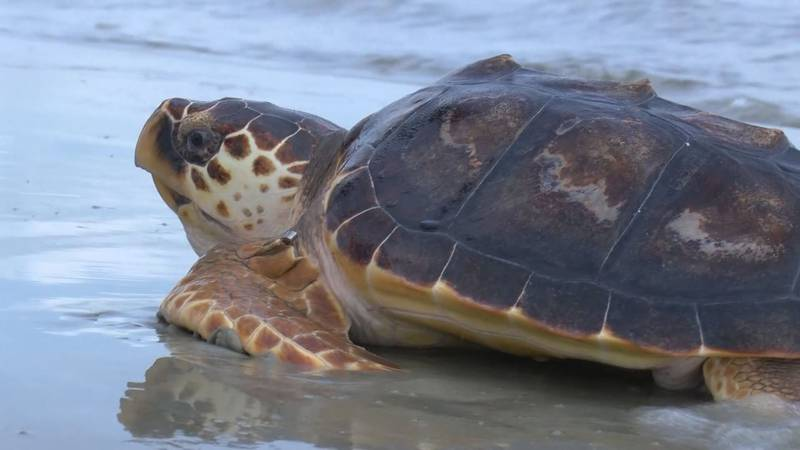 """After a few years of nurturing sea turtle """"Neptune,"""" the UGA Marine Education Center and..."""
